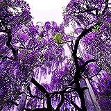 Cioler Seed House - Graines de Glycine Japonaises Glycine Glycine Glycine Sinensis Fleur Mer Fleur Graines vivaces pour balcon/terrasse...