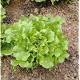 semillas de lechuga Manley 100 semillas 3