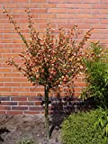 Cytisus scoparius Palette - Gelbroter Edelginster Palette - Schmuckginster - Besenginster - Brambusch - Geißklee
