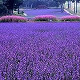 Große Verkäufe !!! 200 PCS / bag französisch Provence Lavendel Samen sehr aromatisch organischen Lavendel Samen Pflanze Blume Blumensamen Ga
