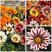 Gazania - semillas de 3 variedades de plantas con flores