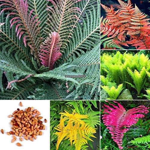 AGROBITS Typ 3: 100P Bunte Farn Samen Garten Balkonpflanzen Creeping e s Eh7E 02