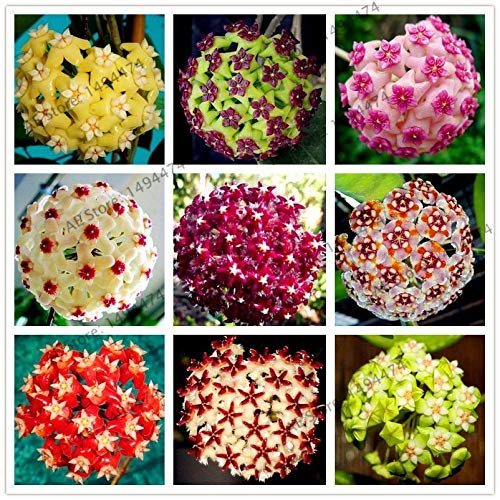 Portal Cool 21: 105pcs 24 Farbe Hoya Carnosa Blumensamen Seltene Staudenbonsaipflanzen