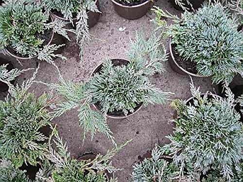 juniperus-horizontalis-icee-blue-r-stahlblauer-zwergkriechwacholder-20-25-cm