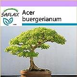 SAFLAX - Acero tridente - 30 semi - Acer buergerianum