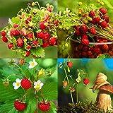 AIMADO Samen-BIO-Erdbeere Obst Samen aromatische Früchte Saatgut für Ihren Balkon, Terrasse & Garten!