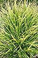 3x Japansegge, Carex morrowii im 9cm Topf als Sparpaket von Get you Green bei Du und dein Garten