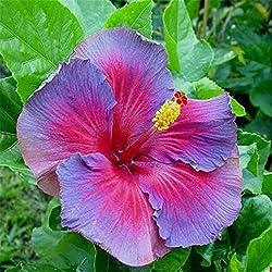 HuaYang 50 Stücke seltene Exotische Hibiskus Blume Samen Hausgarten Pflanzen Blau rosa 6