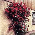 Kletterrose Pauls Scarlet von Meingartenshop - Du und dein Garten