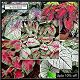 #2: CALADIUM SPECTACULAR MIXED VARIETY BULBS COLLECTION OF FIVE COLORFUL BULBS. KRAFT SEEDS TRYING TO PROVIDE YOU ALL (FIVE) TYPE CALADIUM FLOWER BULBS IN ONE PACK. BY KRAFT SEEDS