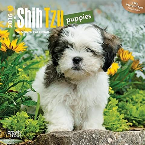 Shih Tzu Puppies 2016