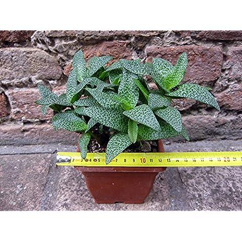 Scilla violacea 20 cm, cactus, pianta grassa - Piante Radice Nuda
