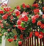 AIMADO-GartenClematis Kletterpflanze Samen 1 Pflanze winterhart ClematisOnline Kletterpflanzen & Blumen