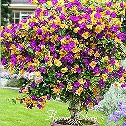 100 Mix Farbe Bougainvillea Balkon Topf, Bonsai Blume Hofanlage immens auffällige, floriferous robuste Pflanze samen nur