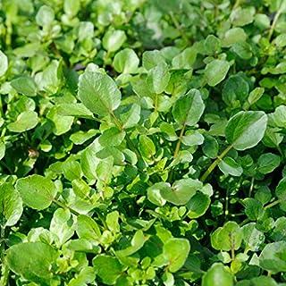 GROSEEDS - Vegetable Seeds, American Cress, V-ACR-01, 900 Seeds Minimum Per Packet.