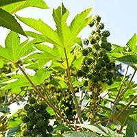 Planta de aceite de ricino - Ricinus communis