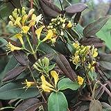 3 Geissblatt Henryi (Lonicera) Kletterpflanzen: 3 kaufen/2 bezahlen / Gelb - Immergrün & Winterhart - 1,5 Liter Topfen - ClematisOnline Kletterpflanzen & Blumen