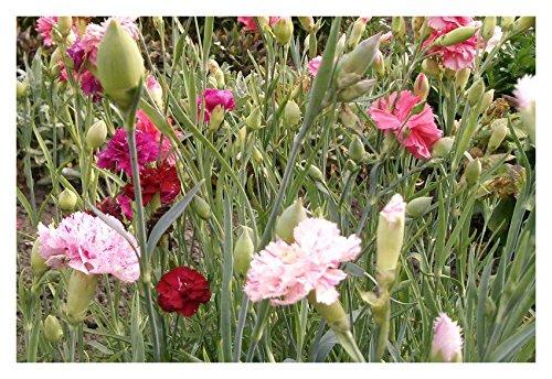 Les Graines Bocquet - Graines De Oeillet Enfants De Nice À Fleur Double Varié - Graines Potagères À Semer - Sachet De 0.4Grammes