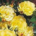 Kordes Rosen Strauchrose, Lichtkönigin Lucia, kräftiges zitronengelb, 12 x 12 x 40 cm, 118-31 von W. Kordes' Söhne auf Du und dein Garten