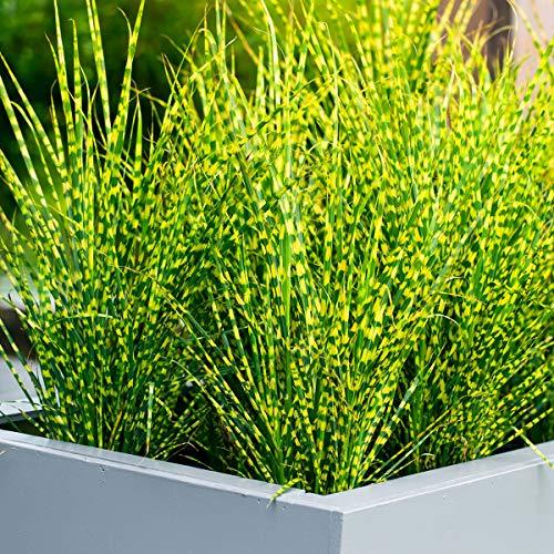 Anitra Perkins - 100 Stück Buntes Tigergras Samen schnell Wachsen Ziergras/exotische pflanzen Zebragras Garten Pflanzen Saatgut winterhart mehrjährig (100)