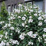 Shop Meeko Hibiscus syriacus Lady - 1 arbusto