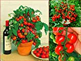 Best Tomato Plants - Upright Tiny Tim Tomato Dwarf Potted Compact Heavy Review
