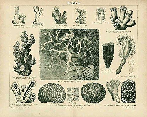 Korallen, Edelkoralle, Lochkoralle u.a. Antiker Stich von 1874