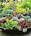 BALDUR-Garten Winterharte Sedum-Mischung Fetthennen Hauswurz Stauden Sortiment, 6 Pflanzen von Baldur-Garten bei Du und dein Garten