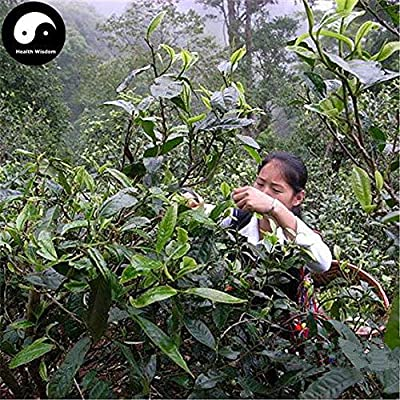 PLAT FIRM Germination Les graines: 30pcs: Acheter Pu erh Tea Tree Seeds usine chinoise Puer Tea Tree pour Yunnan Pu Er