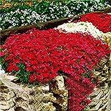 Delaman Creeping Thymian Phlox Pflanzen Samen, Aubrieta Cultorum, Rock Kresse für Patio Garden Decor 100pcs (Color : Red)