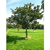 Feuerahorn Acer ginnala, Zierahorn Baum, winterhart und mehrjährig im Topf gewachsen
