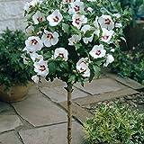 Dominik Blumen und Pflanzen, Hibiskus