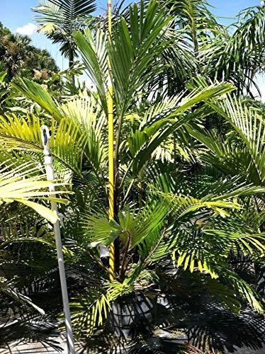 Zwerg Zuckerpalme - Arenga tremula - Zimmerpflanze mit karibischen Flair - 60cm Topf Ø 20cm