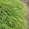 lichtnelke - Japan-Berggras (Hakonechloa macra) von Lichtnelke Pflanzenversand bei Du und dein Garten