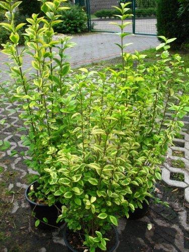 Goldliguster Ligustrum ovalifolium Aureum 80 - 100 cm hoch im 5 Liter Pflanzcontainer