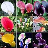 200 cala colorido semilla lirio, colores mezclados, raras Semillas plantas de flores, jardines domésticos, en maceta de plant