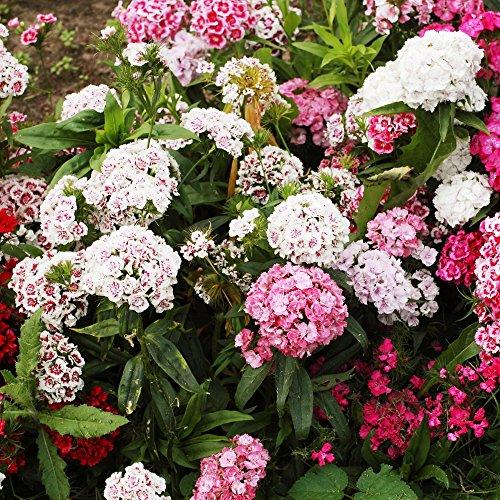 Sweet William Double Mix Samen - Dianthus barbatus - 900 samen -