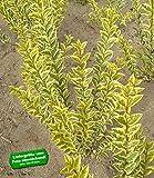 BALDUR-Garten Gold-Liguster,1 Pflanze Ligustrum ovalifolium Aureum Ligusterhecke winterhart