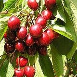 Jean Huchet Plantes - Arbre fruitier Cerisier Bigarreau Moreau 6706