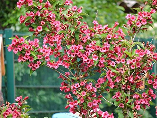 Weigelie Bristol Ruby - (Weigela 'Bristol Ruby') Containerware 60-100 cm