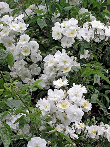 'Bobbie James', Rambler-Rose im Rosen-Container Rambler-rose