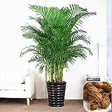Chrysalidocarpus Lutescens Samen Seltene Areca Palm Bonsai Samen Indoor Schmetterling Palm sät DIY Hausgarten-Anlagen 5 PC / Beutel