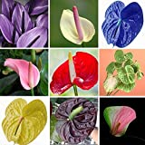 #9: Floral Treasure Anthurium Seeds - Pack Of 50 Seeds
