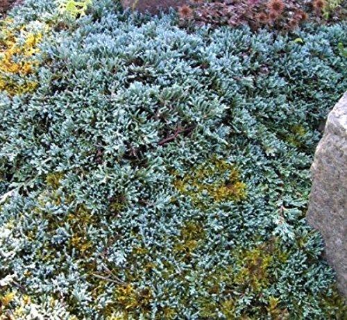 baumschule-anding-stahlblauer-zwergkriechwacholder-juniperus-horizontalis-icee-blue-r