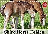 Shire Horse Fohlen (Tischkalender 2019 DIN A5 quer): Die größten Pferde der Welt im Babyfell! (Geburtstagskalender, 14 Seiten ) (CALVENDO Tiere)
