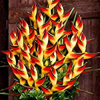 Ncient Semillas Heliconia Flores Raras Semillas Raras Plantas Bonsai Semillas para Jardín Balcon Interior y Exteriores