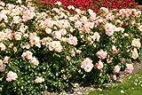 Aprikola - Container Rose im 4 ltr. Topf