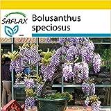 SAFLAX - Anzucht Set - Bonsai - Afrikanischer Blauregen - 15 Samen - Bolusanthus speciosus