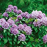Amazon.de Pflanzenservice Rhododendron, blau/violett, 1 Pflanze, 20 - 30 cm hoch, 2 Liter Container,...