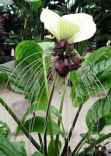 TROPICA - Nepalesische Riesen - Fledermausblume (Tacca nevia white) - 10 Samen